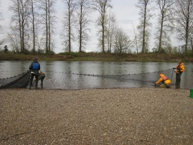 Juvenile Spring Chinook Seining, Lower Willamette, 2012
